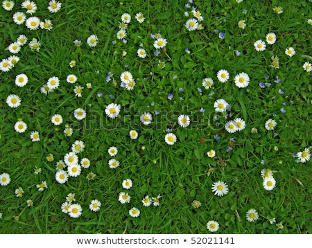 Blooming chamomiles close up view of flowers field. Stock photo © artjazz
