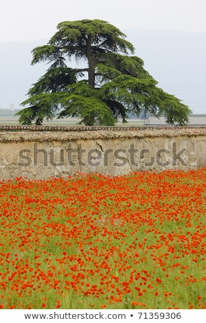 sok · piros · pipacsok · mező · tavasz · virág - stock fotó © phbcz