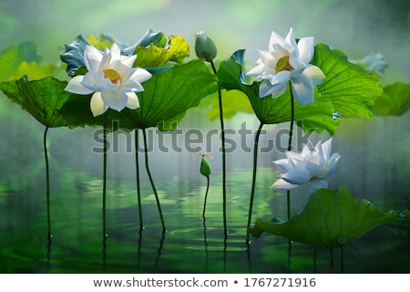 white lotus Stock photo © val_th