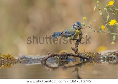 Nesting box for Western Blue Bird Stock photo © rcarner