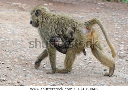 Savanna baboon (Papio cynocephalus) Stock photo © ajlber