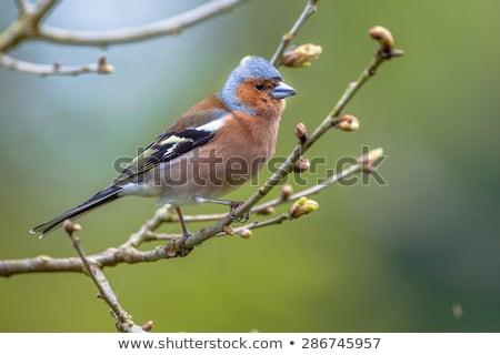 Natureza pássaro europa semente inglaterra animais selvagens Foto stock © chris2766