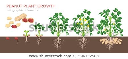 Peanut Plant Stock photo © lovleah