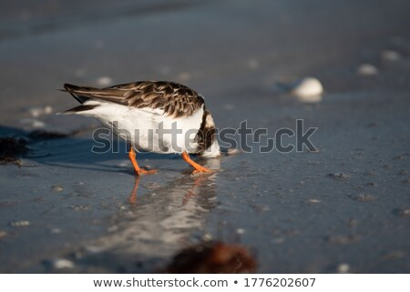 Florida Sandpiper Bird Stock photo © ArenaCreative