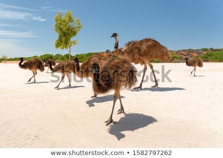 big emu Stock photo © ArenaCreative