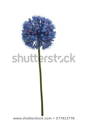 Stock fotó: Virágok · csoport · óriás · hagyma · virág · szépség