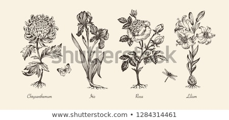 Boceto iris vector vintage eps 10 Foto stock © kali
