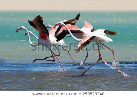 フラミンゴ オフ ピンク 長い 先頭 ストックフォト © ottoduplessis
