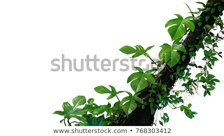 Aerial roots of a tropical plant. Natural background Stock photo © pzaxe