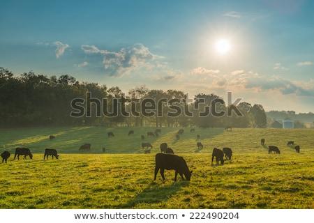 Domaine bovins Nouvelle-Zélande herbe nature ferme Photo stock © rghenry