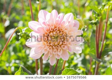 Mooie dahlia bloesem tuin schoonheid zomer Stockfoto © Julietphotography