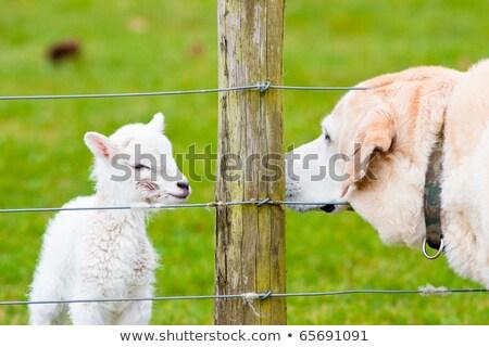 újszülött bárány születés labrador kutya tavasz Stock fotó © rekemp
