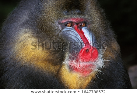 Mandrill (Mandrillus sphinx)  Stock photo © chris2766