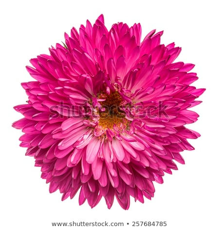 ピンク · 菊 · デイジーチェーン · クローズアップ · ショット · 活気のある - ストックフォト © mroz