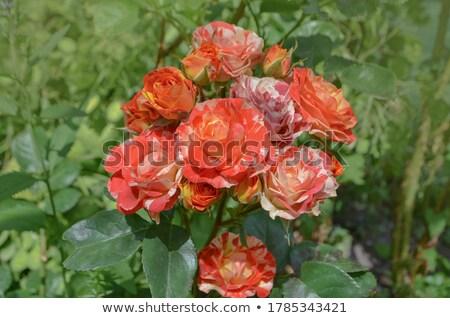 yellow Rose on white zone Stock photo © mathbapti