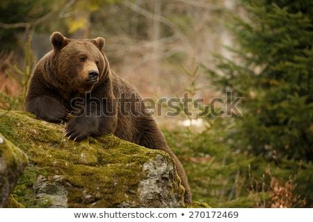 большой мужчины Бурый медведь зоопарке лет день Сток-фото © Aikon