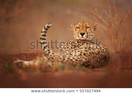 Guépard manger parc Afrique du Sud animaux photographie Photo stock © simoneeman