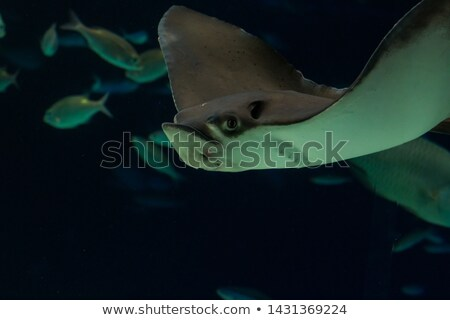 bat eagle ray stock photo © lienkie