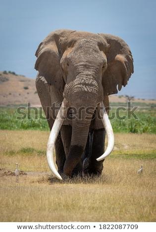 elephant bull walking towards the camera stock photo © simoneeman