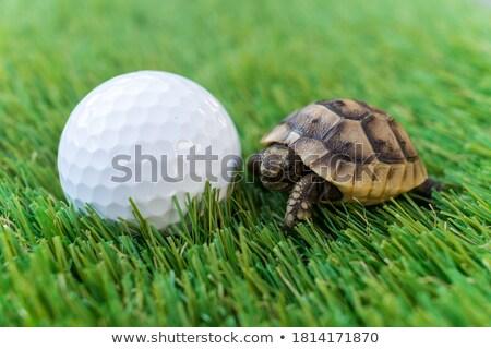 schildpad · egyptische · geïsoleerd · witte · dier · lopen - stockfoto © cynoclub
