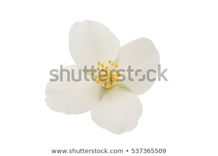 Jasmine flowers on green stem Stock photo © colematt