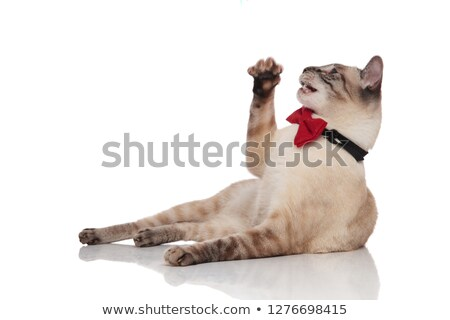 playful gentleman burmese cat resting and looking up to side Stock photo © feedough