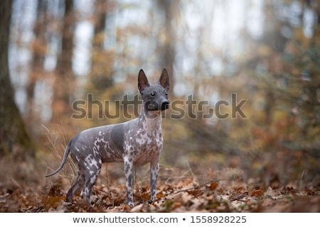 American Hairless Terrier Foto stock © eriklam