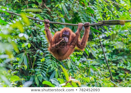 orangutang in rainforest Stock photo © tiero