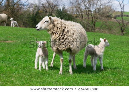 Sheep and lamb on green field Stock photo © adamr