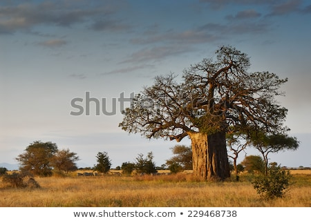 Stock photo: big Baobab tree