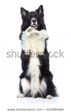 Border Collie Begs for Attention stock photo © oliverjw