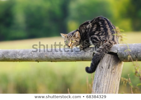 striped cat on the fence Stock photo © taviphoto