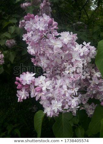 lilac closeup stock photo © kotenko