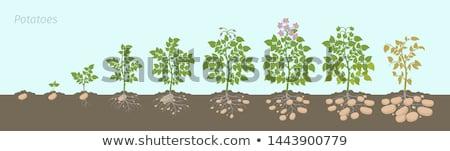 Planting potatoes Stock photo © Hofmeester