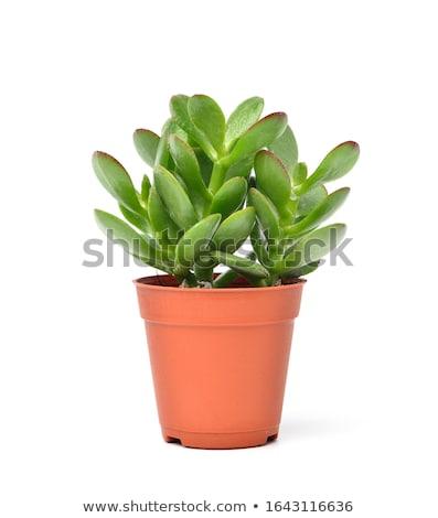 vert · usine · blanche · succulent · isolé · chemin - photo stock © shanemaritch