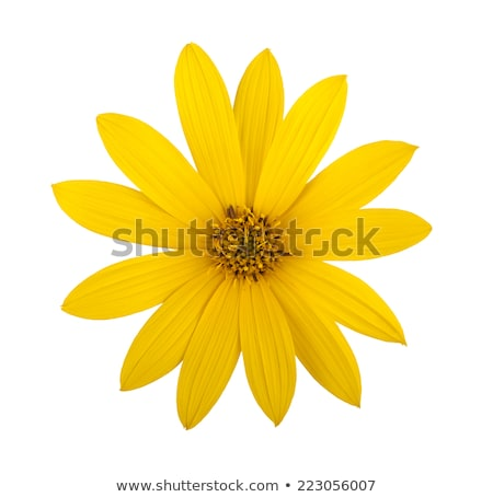 Topinambur yellow flowers background Stock photo © vavlt