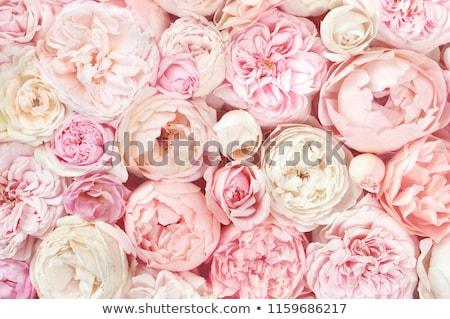 Witte roze bloem geïsoleerd bloeien bloemen natuur Stockfoto © stocker