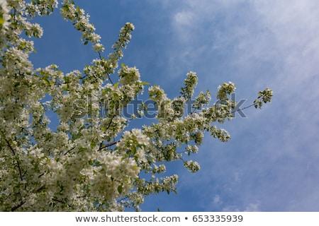Fleurs sauvage pomme arbres floraison printemps Photo stock © EFischen
