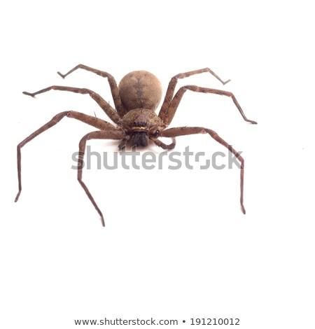 Barna pók hét lábak elszigeteltség nagy Stock fotó © silkenphotography