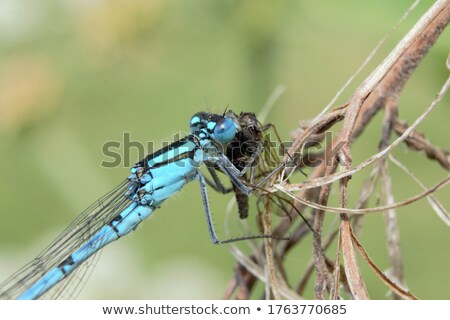 common damselfly eating a fly stock photo © sarahdoow