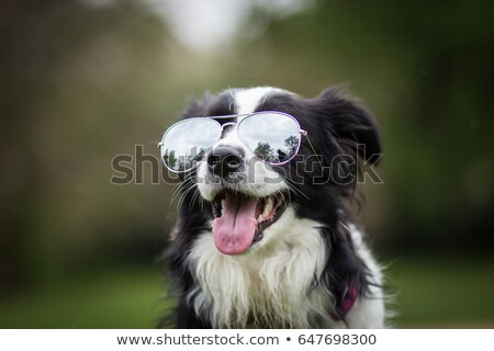 Бордер колли щенок мало красный корзины изолированный Сток-фото © ivonnewierink