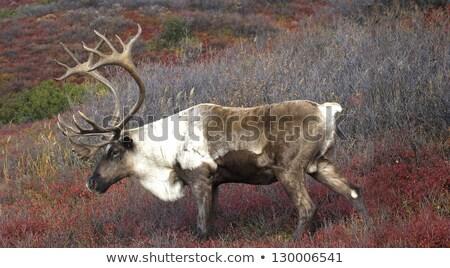 Male Caribou grazing on colorful fall tundra, central Alaska Range  Stock photo © jeffmcgraw