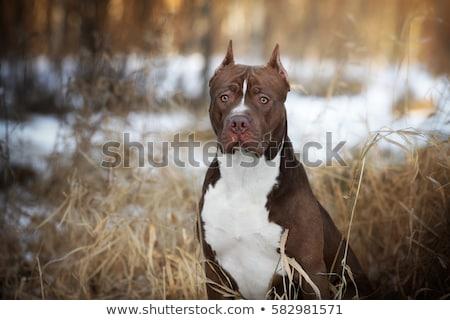 american pit bull stock photo © -baks-