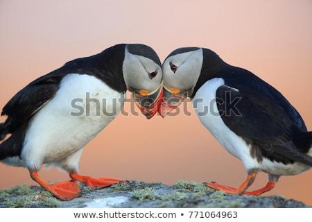 Nature oiseau sable pêche perroquet Écosse Photo stock © chris2766
