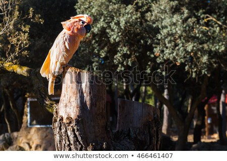 The Salmon-crested cockatoo perching on a tree stump Stock photo © amok