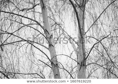 Winter BW photo of cloudy dramatic sky with trees Stock photo © ankarb