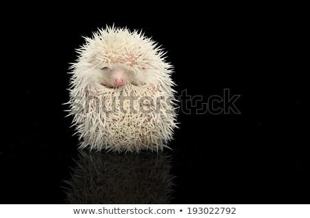 白化 猬 黑暗 表 狗 商業照片 © vauvau