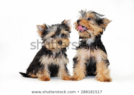Yorkshire terrier retrato escuro estúdio feliz Foto stock © vauvau
