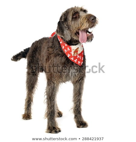 Stock photo: wired hair german pointer relaxing in studio