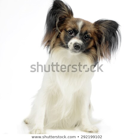 Stock photo: cute papillon waching in white photo studio